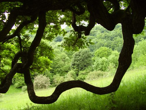 View through an oak tree at Westley Farm, home of Cotswold Yurts